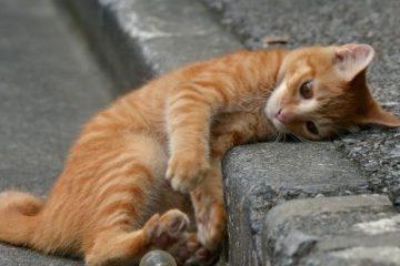 insuffisance rénale chronique chat