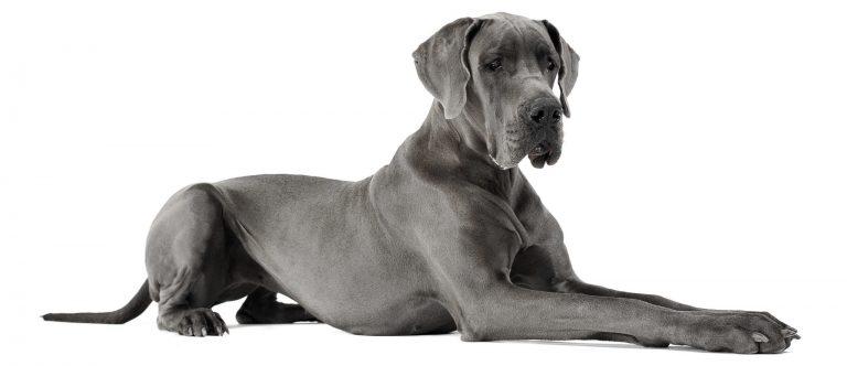 ostéosarcome chien